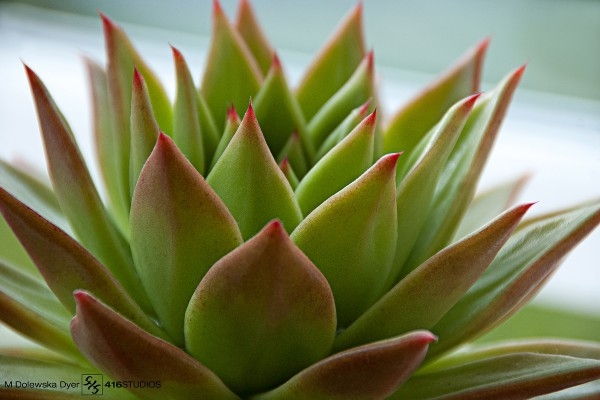 Ebony Echeveria succulent plant cacti