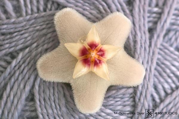 hoya carnosa hoya plant flower blossom